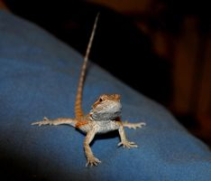 Puff Jr baby Bearded Dragon by FairieGoodMother
