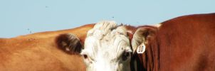 Ronald the agitated cow by DougFromFinance