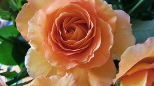 a rose by any othe name by i-pop