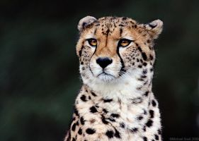 Cheetah 2 by Mick75