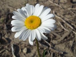 Marguerite Daisy by AppleBlossomGirl
