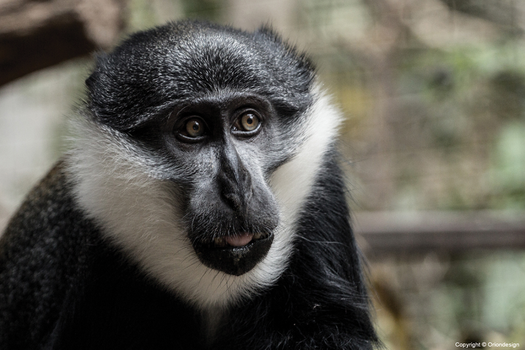 Monkey2 by oriondesignnorway