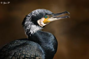 Great Cormorant by Yair-Leibovich