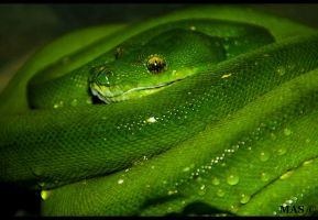 Green Tree Python_8837 by MASOCHO