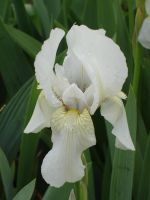 White Iris by MapleRose-stock