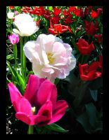 pink tulips by antiMark