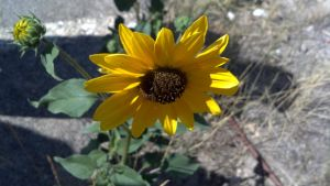sunflower at the olympic park by Mirage-Photography