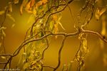 Golden Branch by Braunaudio