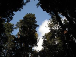 Redwoods Reaching for the Sky by wolfforce58