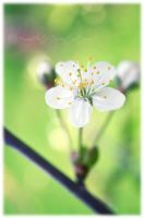 White Cherry by Memmarte