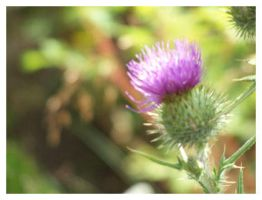 Thistle. by Bleezer