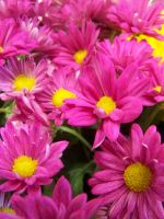 Pink Daisy by theNanna