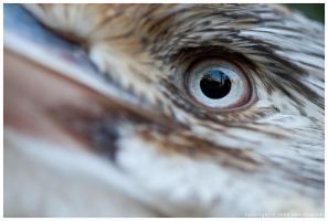 Kookaburra Eye by nearthepark