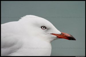 Mr Seagull by TVD-Photography