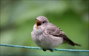 Spotted flycatcher by Loneiris