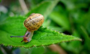 snail on leaf by bebadawn