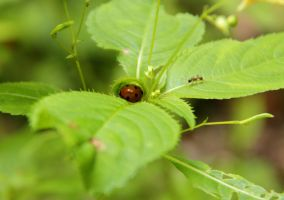 Ladybird in hiding... by Luphia