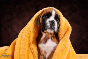 little Boxer Puppy and her yellow blankie by Kirikina