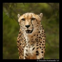 Cheetah Portrait by TVD-Photography