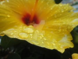 Yellow Flower Water Droplets by hailstormnightmare