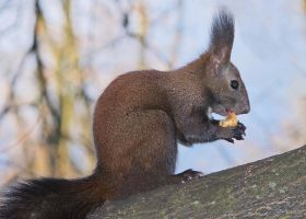 Eating nuts by starykocur