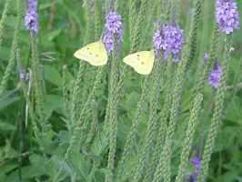 Twin Yellow Butterflies by Ranasp