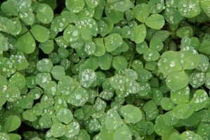 Clover II by LadyRStock