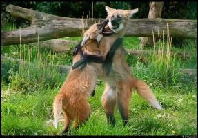 Maned wolf cubs by Lunchi