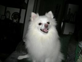 Snowball the White Pomeranian by DYW14