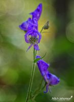 Macro Penstemon by mjohanson