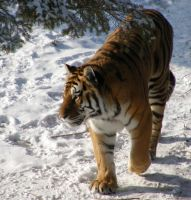 Siberian Tiger by Fictionary