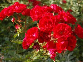 Red Roses by ewensimpson