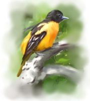 1 Hour Oriole by Yggdrassal