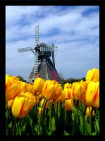 Holland Tulips by s-a-r-a--n-u-r-m-i