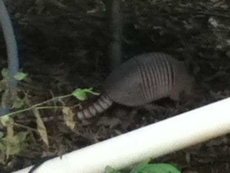 Armadillo!!! by Number333