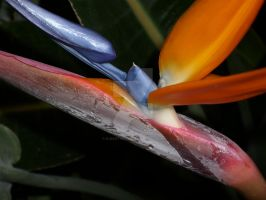 Bird of Paradise by njbartworks