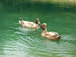 ducks 2 by PhotoBoothLoveXx