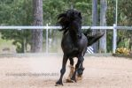 E canter front on friesian by Chunga-Stock