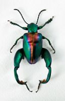 Frog Legged Leaf Beetle by FauxHead