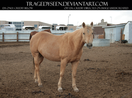 Palomino Stock 11 by tragedyseen