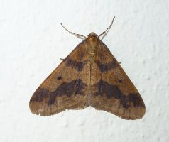 Male Mottled Umber Moth This AM Front Door by SrTw