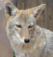 AlZ Aug28: Coyote 4 by FamilyCanidae