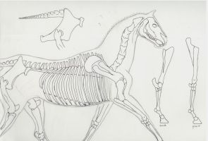 Horse Skeleton Practice by BlueOkapi