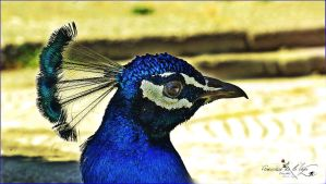 pavo real by eross-666