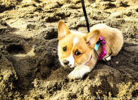 Corgi in the Sand by FurBabyPhotography