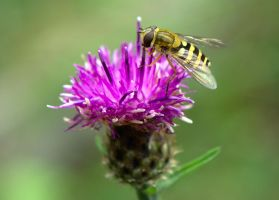 Hover Fly by FurLined