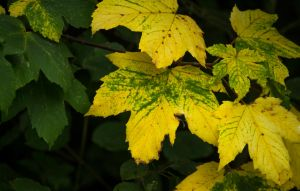 Leaves turning Yellow by Danimatie