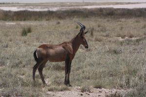 Hartebeest by DoWnHIller