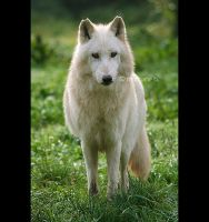 White wolf I by moem-photography