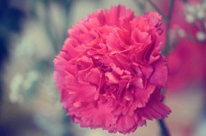 Carnation Daze by ShutterGurl